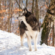 Crossbreed Huskey Malamut in the snow — Stock Photo