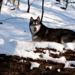 Crossbreed Huskey Malamut in the snow on a fallen tree - Stock Photo