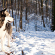 Crossbreed Huskey Malamut in the snow watching — Stock Photo