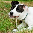 The dog with his stick for chewing - Foto de Stock