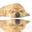 Stock Photo: Sleeping sharpei puppy