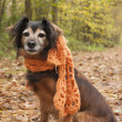 Stock Photo: Waiting dog with scarf in forest