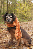Waiting dog with a scarf in the forest — Stock Photo