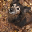 Stock Photo: Obedience dog n autumn