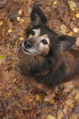 Obedience dog n the autumn — Stock Photo