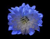 Siyah üzerine izole mavi çiçek papatya — Stok fotoğraf