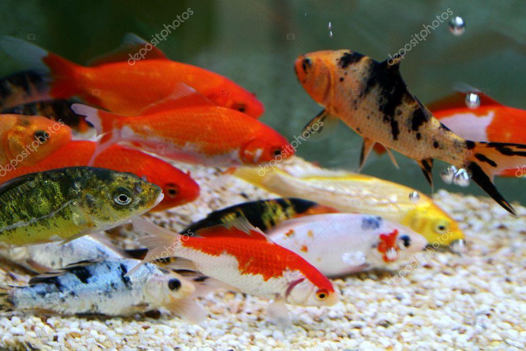 Big colorful koi carp stock photo yuyang 4484747 for Big koi carp