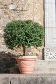 Ficus benjamina tree — Stock Photo