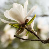 White magnolia blossom — Stock Photo
