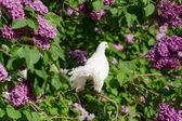 Pigeon on branch — Stock Photo