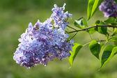 Blue lilac flowers — Stock fotografie