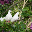 Two white pigeons — Stock Photo #47867627