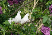 Two white pigeons — Stock Photo