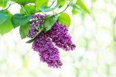 紫色のライラックの花 — ストック写真
