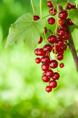 Red currants outsoors — Stock Photo