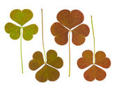 Clover leaves collection — Stockfoto