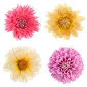 Variety chrysanthemum flowers — Stock Photo