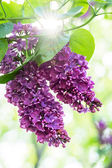 Purple lilac flowers — Stock Photo