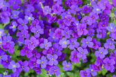 Flowerbed of Aubrietia — Stock Photo