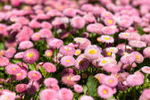 Flowerbed with marguerites — Stock Photo