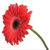 红色非洲菊隔离 — 图库照片
