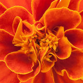 French marigold background — Stock Photo
