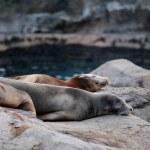 Sea lion sleeping — Stock Photo