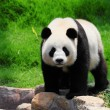 Stock Photo: Funny panda