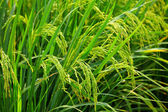 Asia paddy rice field — Stock Photo