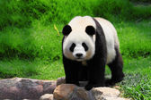 Gracioso panda — Foto de Stock