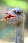 Ostrich bird — Stock Photo