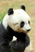 Funny panda — Stock Photo