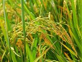 Rice in field — Stock Photo