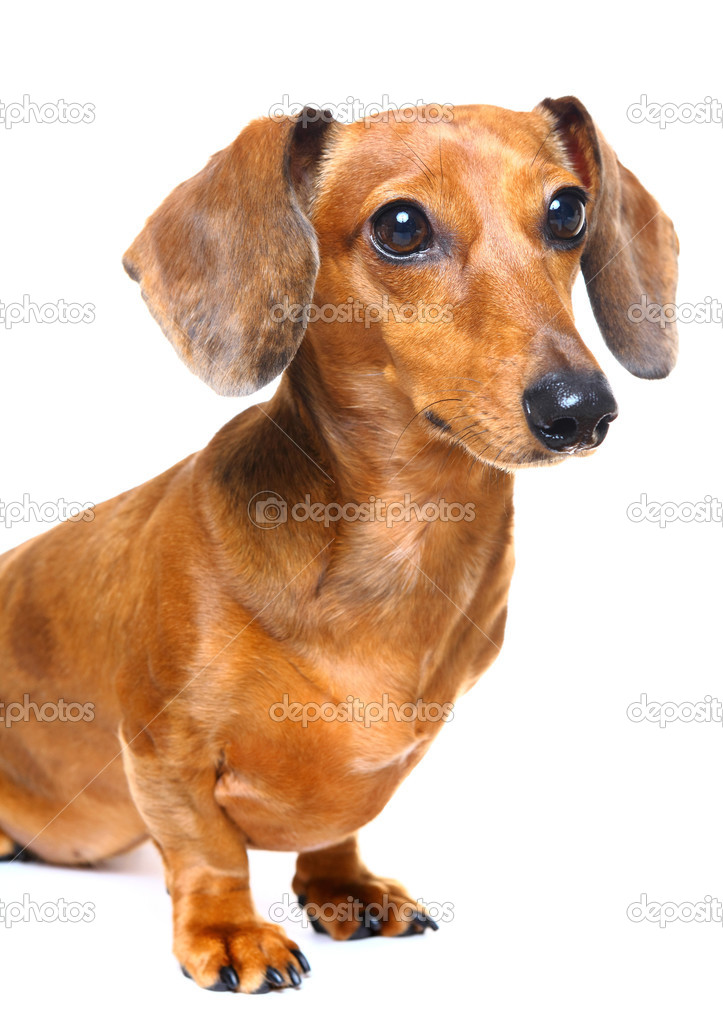 Dachshund dog — Stock Photo #12608201