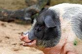 Schwarz-weiß-schwein — Stockfoto