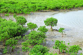 Red Mangroves — Stock Photo