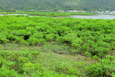 Red Mangroves — Foto de Stock