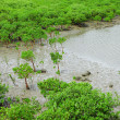 Red Mangroves - Stock Photo