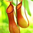 Stock Photo: Pitcher plant