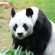Giant panda — Stock Photo #13895283