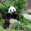 Stock Photo: giant panda