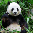 Giant panda bear eating bamboo — Stockfoto