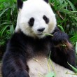 Giant panda bear eating bamboo — Stok fotoğraf