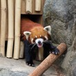 Red panda — Stock Photo #13895299