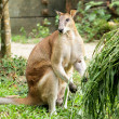 Kangaroo — Stock Photo #13895465