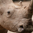 Rhino — Stock Photo #13895495