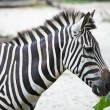 Zebra — Stock Photo #13895500