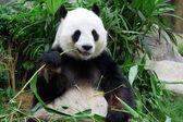 Panda velká medvěd jíst bambus — Stock fotografie