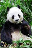Giant panda bear äter bambu — Stockfoto