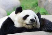 спящая панда — Стоковое фото